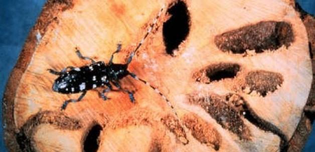İstanbul'da ağaç yiyen böcek alarmı