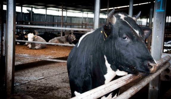 DÜÇ 17 tosun ve 6 kasaplık inekle ihaleye çıktı