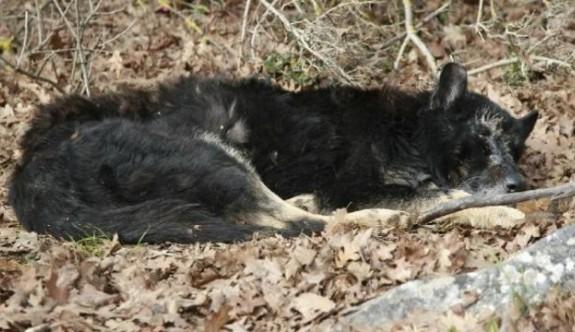 Türkiye'de nadir görülen siyah kurt böyle kurtarıldı