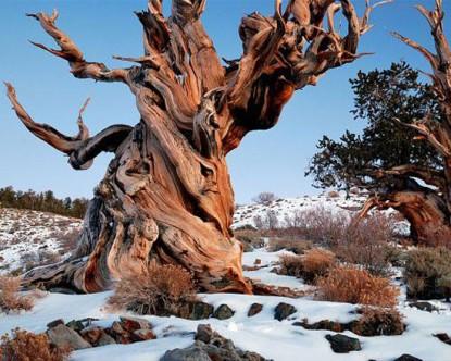 Yeryüzünün en yaşlısı 5000 yıllık