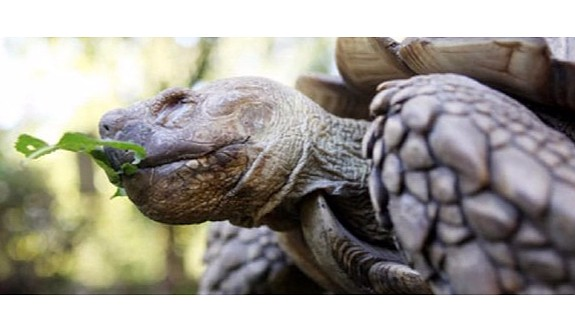 100 yaşındaki kaplumbağayı çaldılar