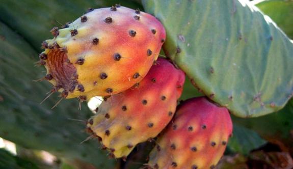 Kıbrıs'ın yaz meyvesi Babutsa