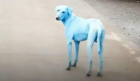 Hindistan'daki Mavi Köpekler
