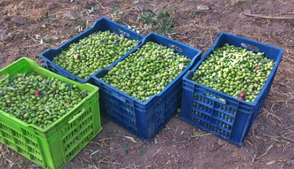 İskele'de zeytin hasadı başlıyor