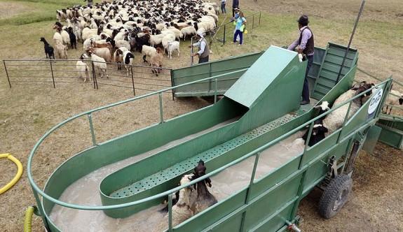 Koyunlara 'özel banyo' hizmeti