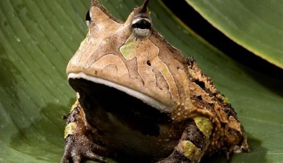 Boynuzlu kurbağa dinozorları yiyebilecek çeneye sahip