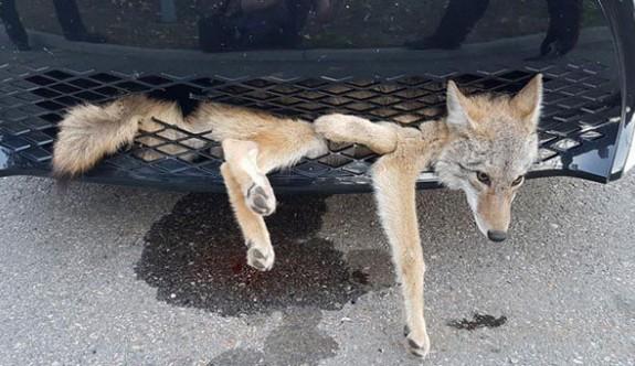 Çakal arabanın altına sıkıştı