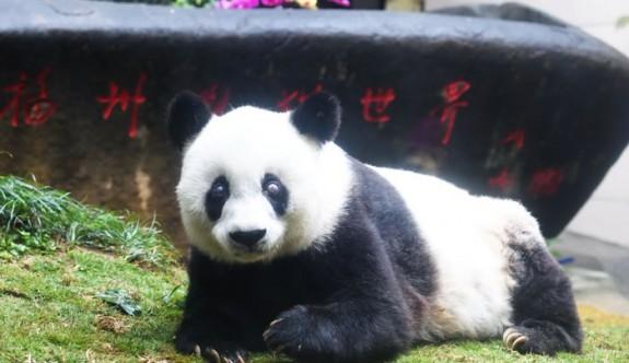 Dünyanın en yaşlı pandası öldü
