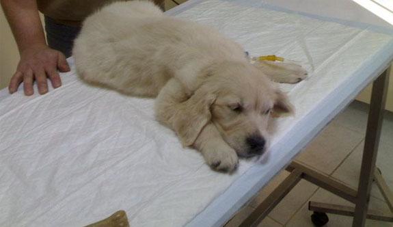 Köpeği hastalanan akademisyene ücretli izin