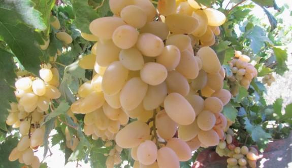 Üzüm, fındık ve kuru incirler imha edildi