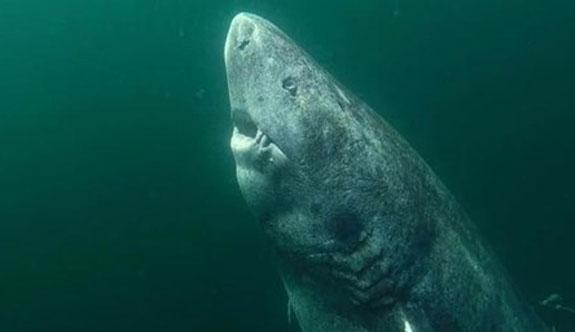 Dünyanın en yaşlı köpekbalığı