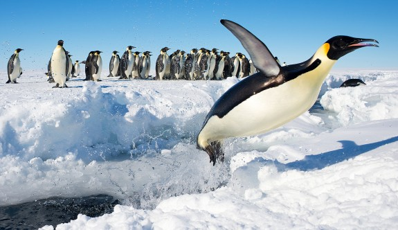 Kral penguenleri tehdit altında