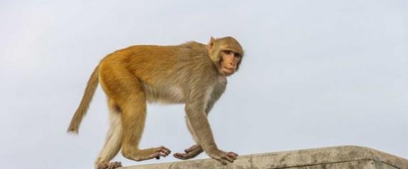 Maymun bebeği çaldı