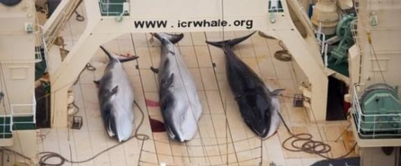 Japon avcılar 122 hamile balinayı öldürdü