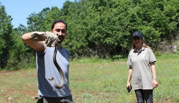 Nesli tükenmekte olan yılan Kahramanmaraş'ta bulundu