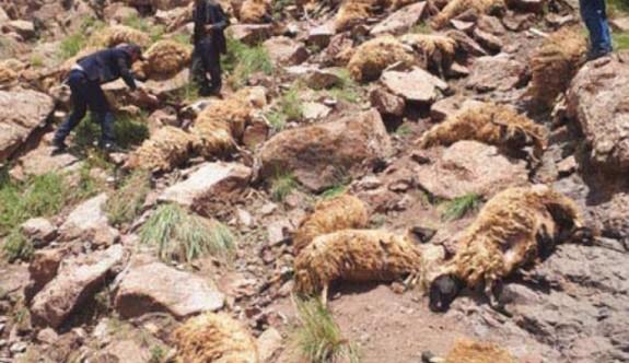 Van'da uçurumdan atlayan 100 koyun telef oldu