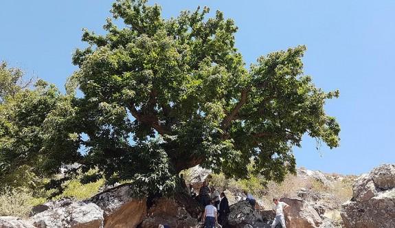 500 yıllık kestane ağacına yoğun ilgi