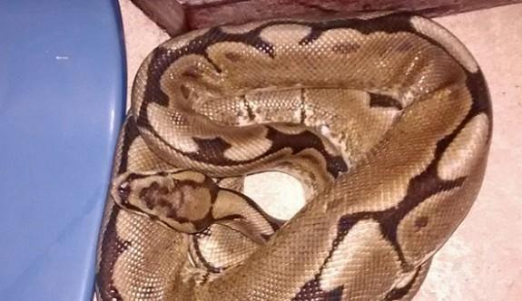 Yatağında bir metrelik yılanla uyandı