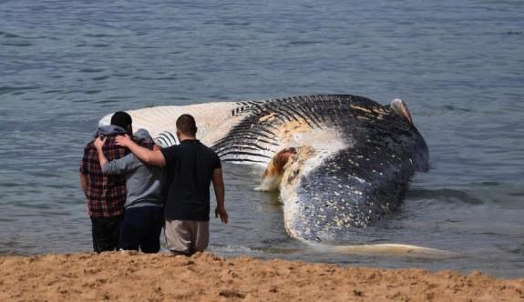 Avustralya'da dev bir balina kıyıya vurdu