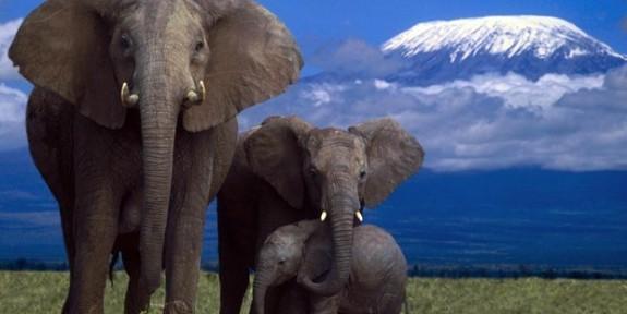 Devasa fillerin 12 ilginç özelliği