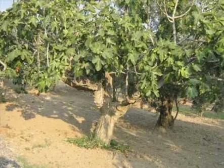 Midesindeki incir tohumundan çıkan İncir ağacı ile 40 yıl sonra bulundu