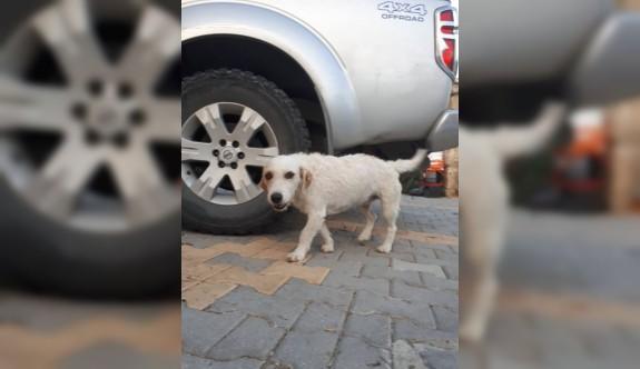 Köpek hırsızları iş başında