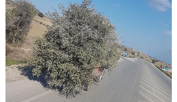 Zeytin ağacı yolda gider mi?