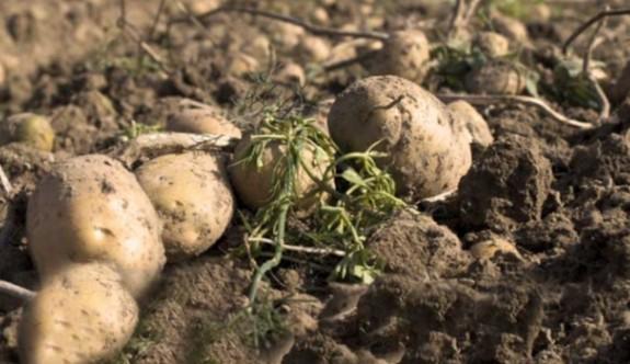 Türkiye'de 25 ilde patates üretimi yasaklandı