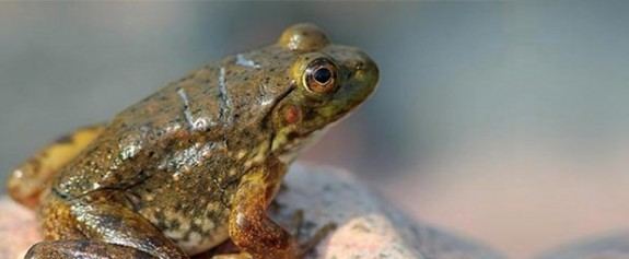 Hindistan'da yeni bir kurbağa türü keşfedildi