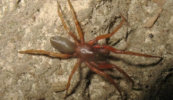 Kıbrıs'ta iki yeni örümcek türü keşfedildi