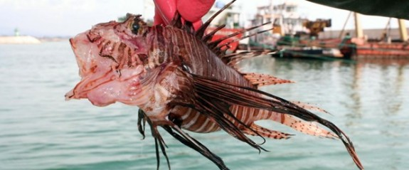 Mersin'de zehirli aslan balığı