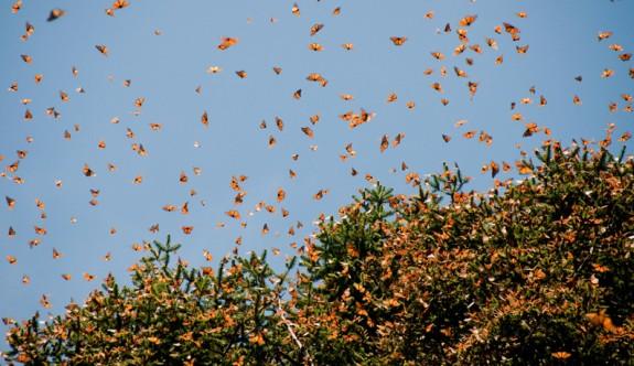 Milyonlarca kelebek ülkemiz üzerinden Balkanlara göç ediyor