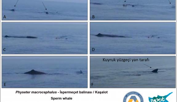 """""""Akdeniz'de yaşayan ispermeçet balinaları tehlike altındadır"""""""