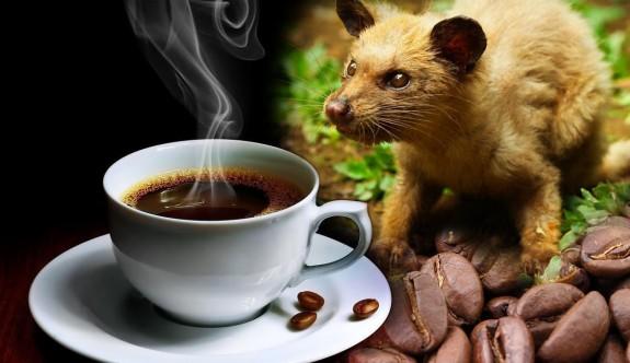 Dünyanın en pahalı kahvesi, kedi dışkısından üretiliyor