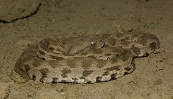 2,5 yaşındaki çocuğu zehirli yılan soktu