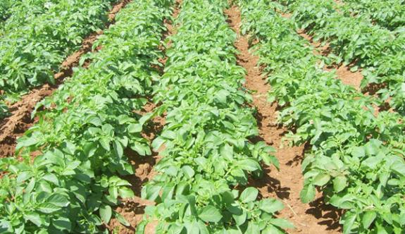 Patates ekili alanların 15 Ekim'e kadar bildirilmesi gerek