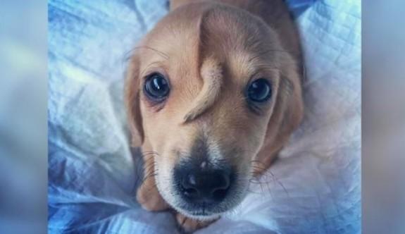 Bu köpeğin 1'i kafasında 2 kuyruğu var
