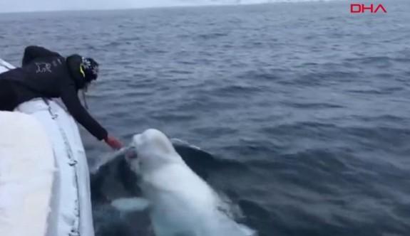 Güney Afrikalı denizciler, beyaz balinayla 'rugby' oynadı