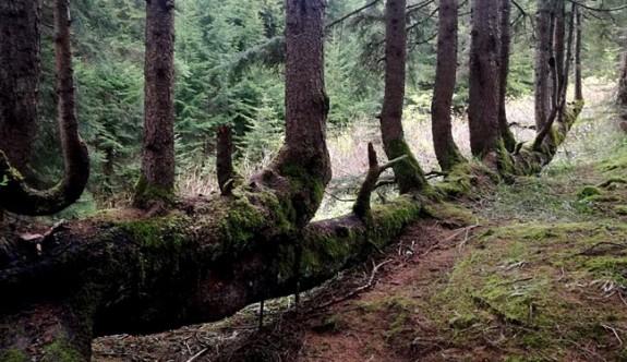 Ordu'da bir ağacın gövdesinden 17 ağaç