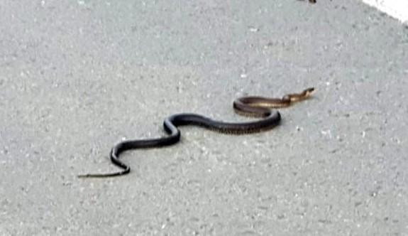 Güney'de karantina ve sokağa çıkma yasağı yılanlara yaradı