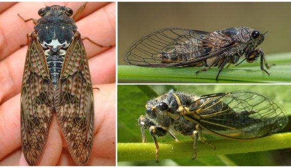 ABD'de corona virüsün ardından zombi ağustos böceği tehlikesi