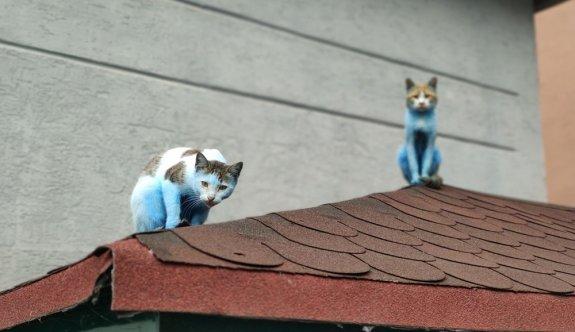 Mavi kediler görenleri şaşırttı