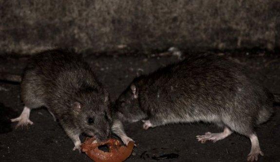 Ova fareleri ambarlara dadandı