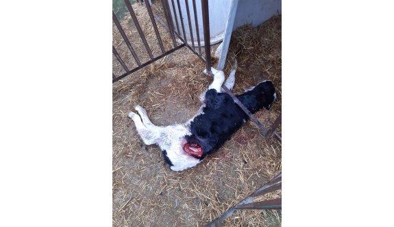 Başıboş köpekler danaları parçaladı