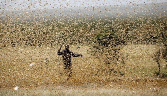 Kenya'yı çekirge sürüleri işgal etti