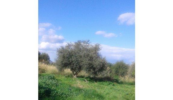 Kırsal alanlarda zeytin ağaçları bakım bekliyor