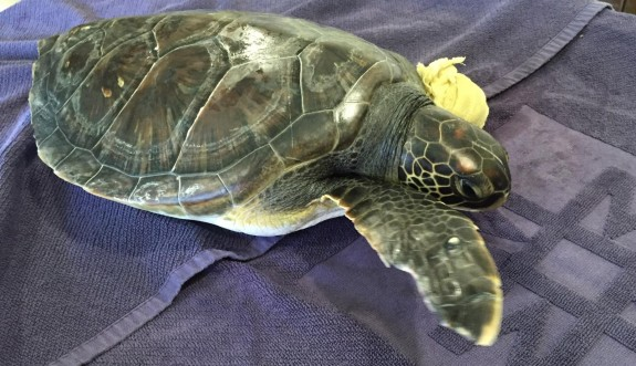 Songül isimli yeşil deniz kaplumbağası dünya literatürüne girebilir