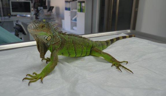İguana hem korkuttu, hem şaşırttı