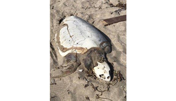 Dev kaplumbağa ölü olarak sahile vurdu