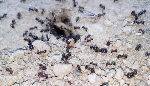 Karıncalar mesaiye erken başladı